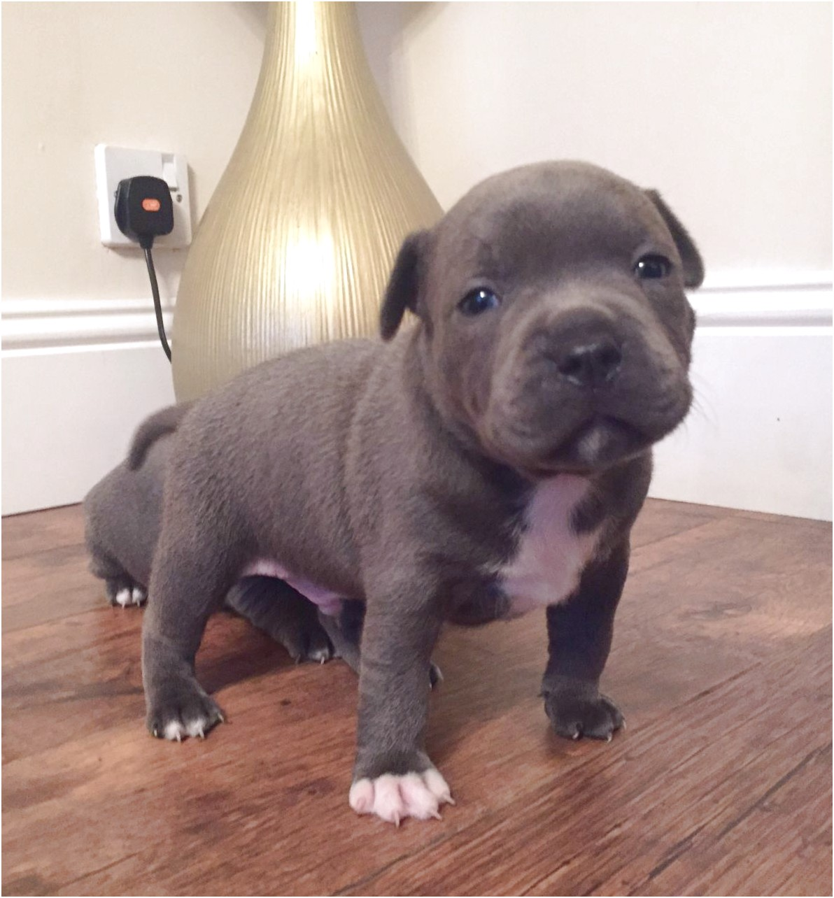 bull terrier puppies for sale western cape