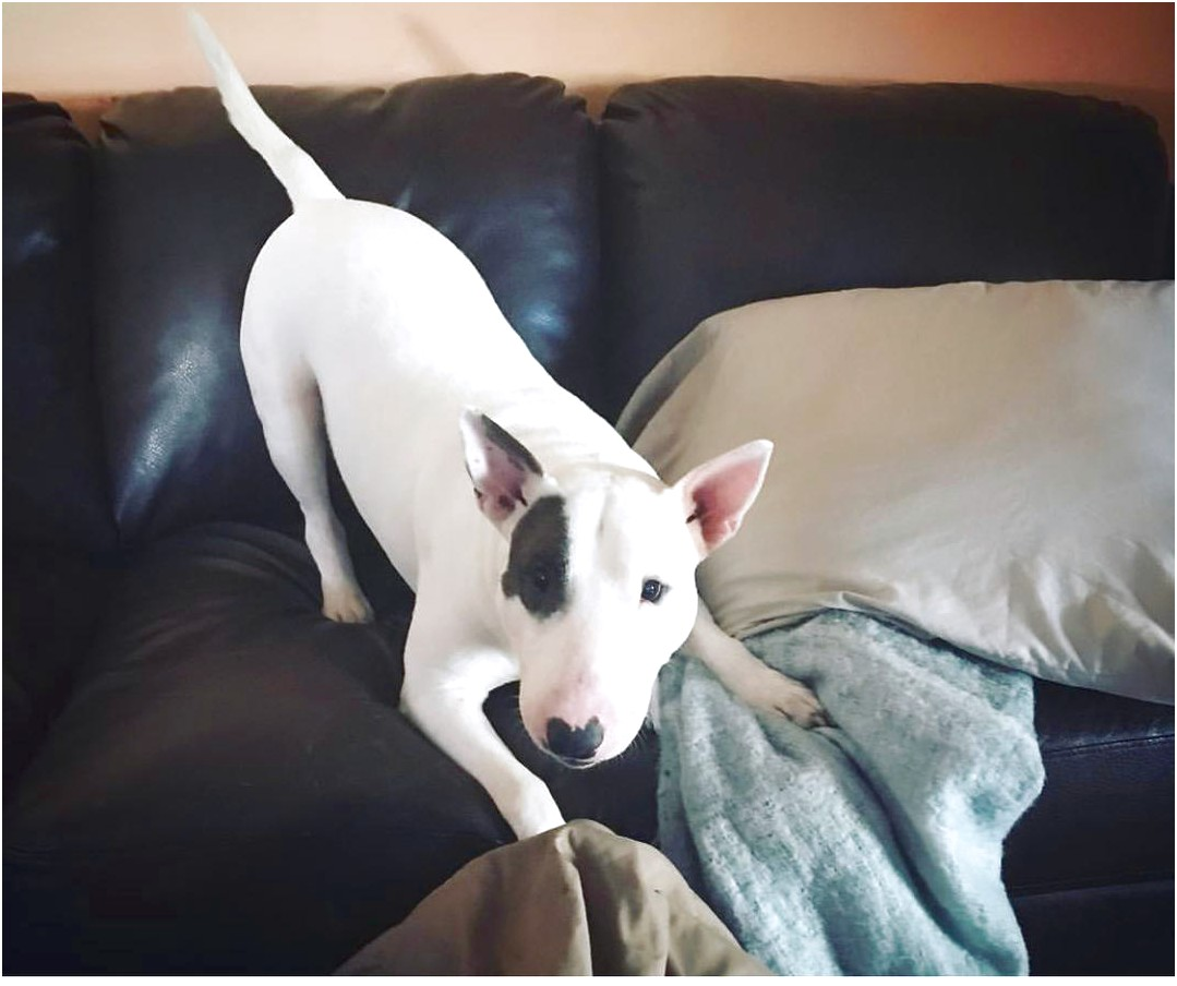 bull terrier puppies for sale wi