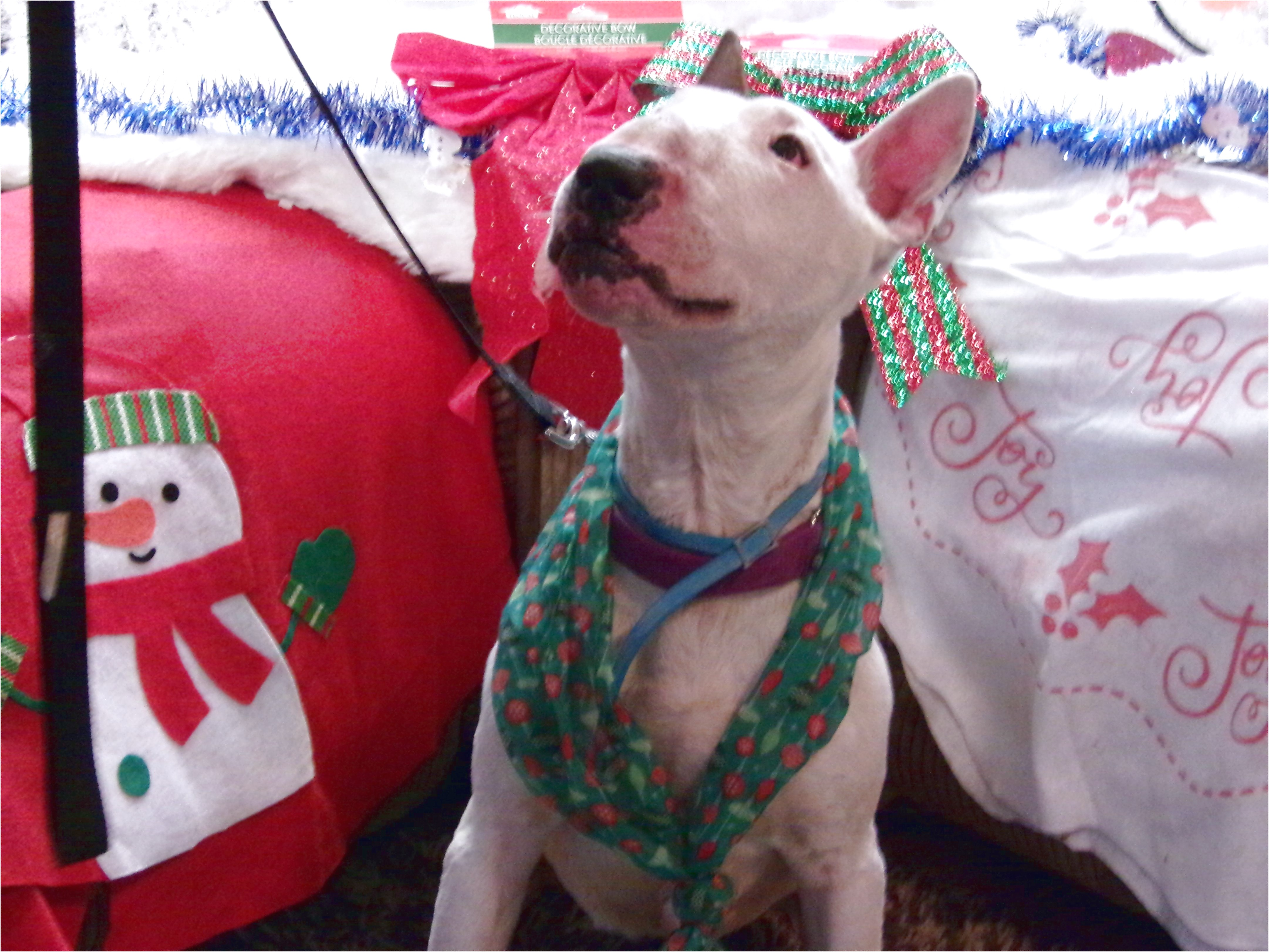 bull terrier puppies for sale yakima