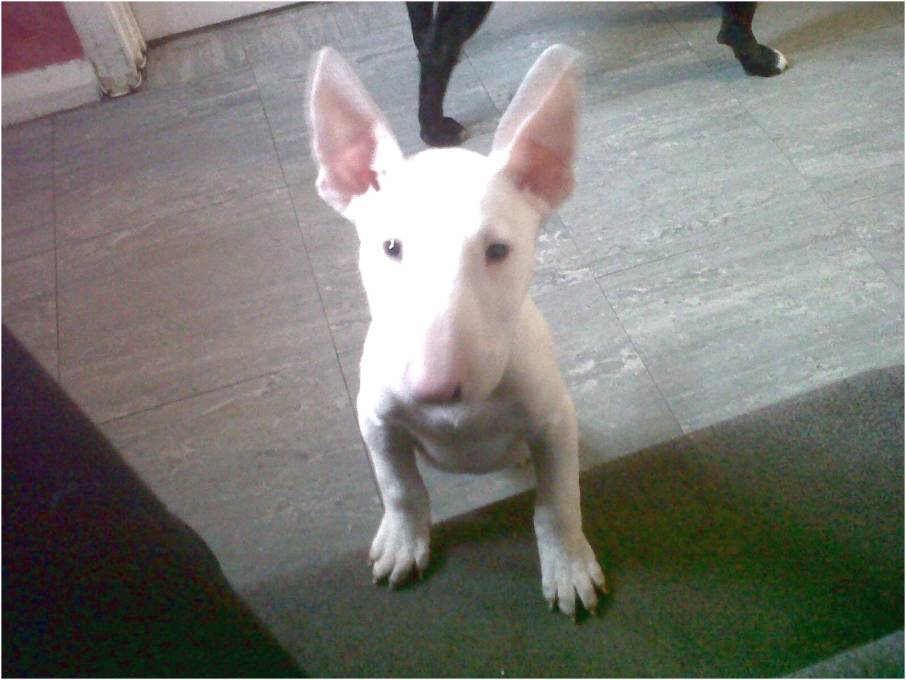 bull terrier puppies price