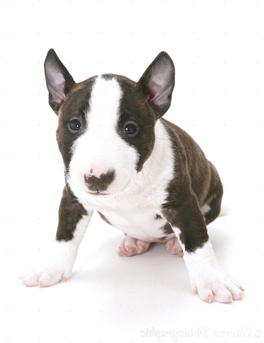 bull terrier pups for sale