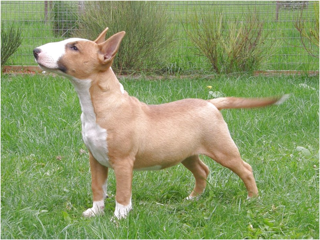 bull terrier pups nz