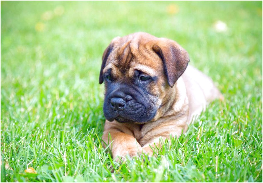 bullmastiff puppies for sale near me