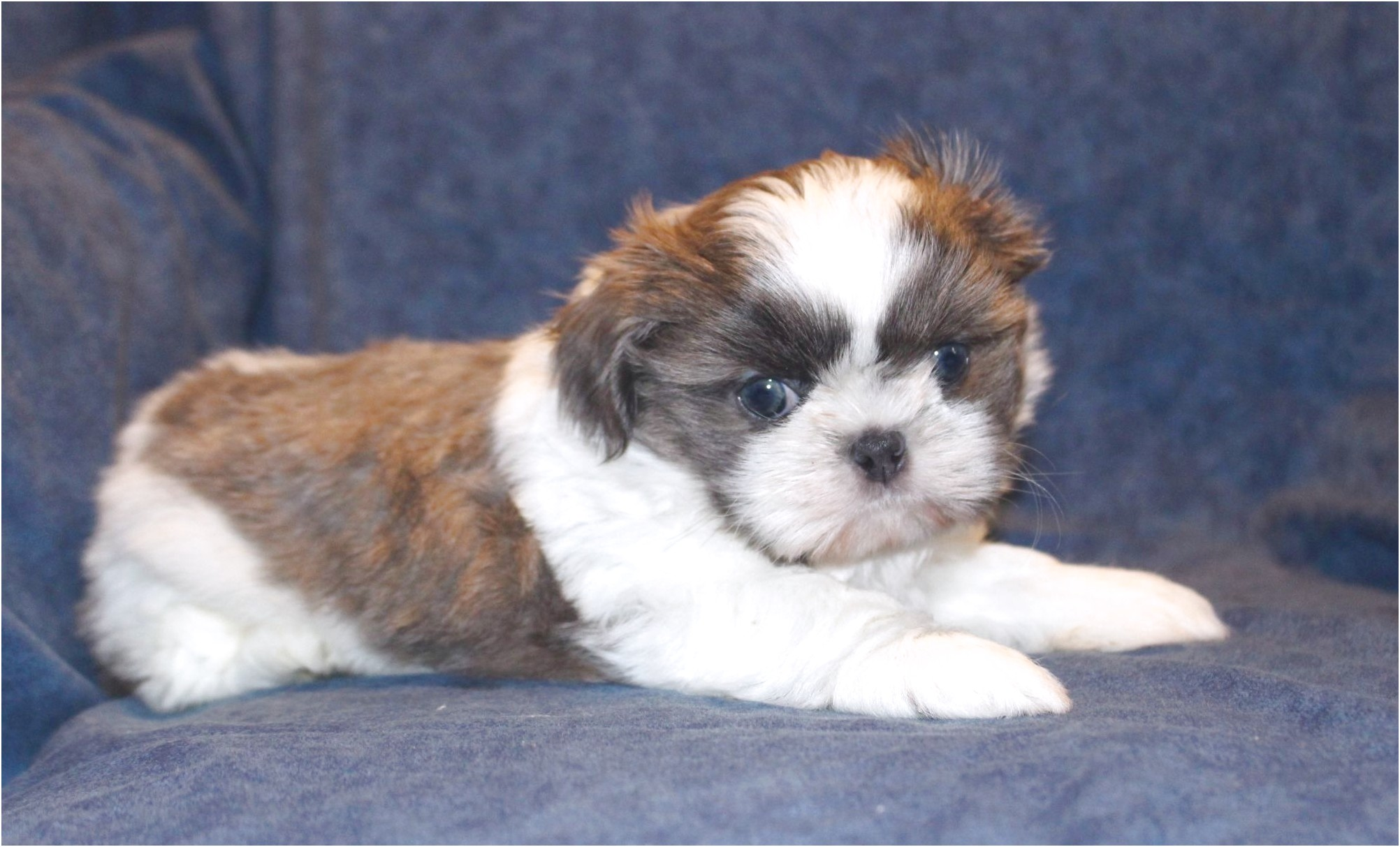 buy a shih tzu puppy for sale