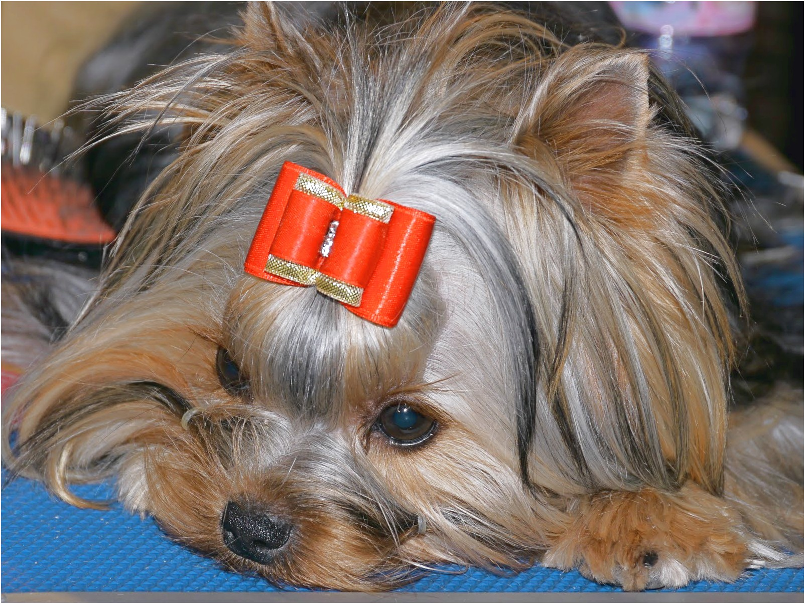 care of yorkshire terrier puppies