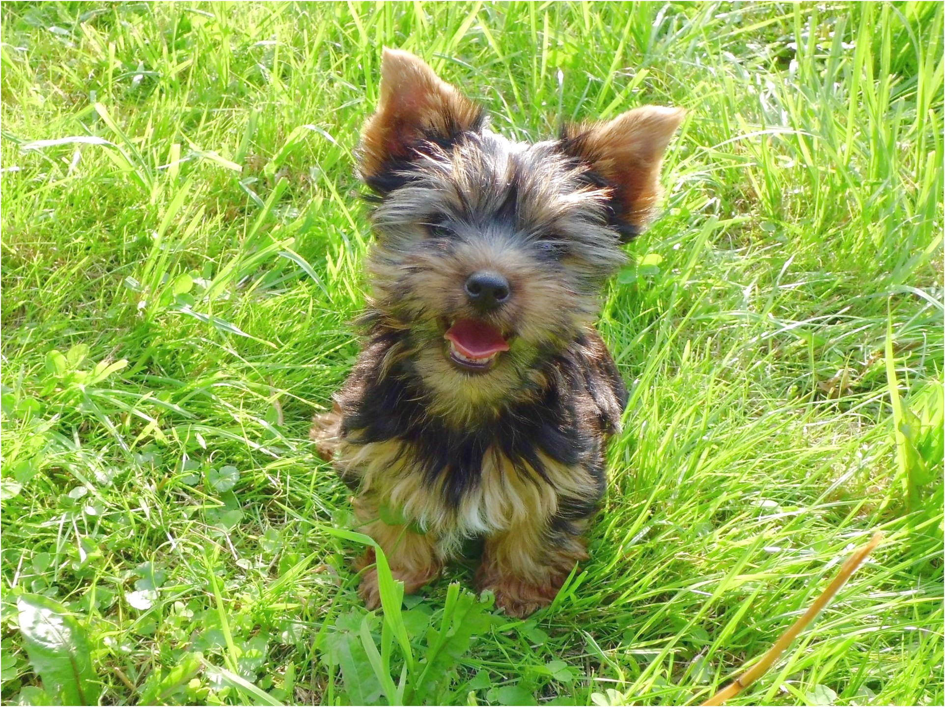 caring for yorkshire terrier puppies