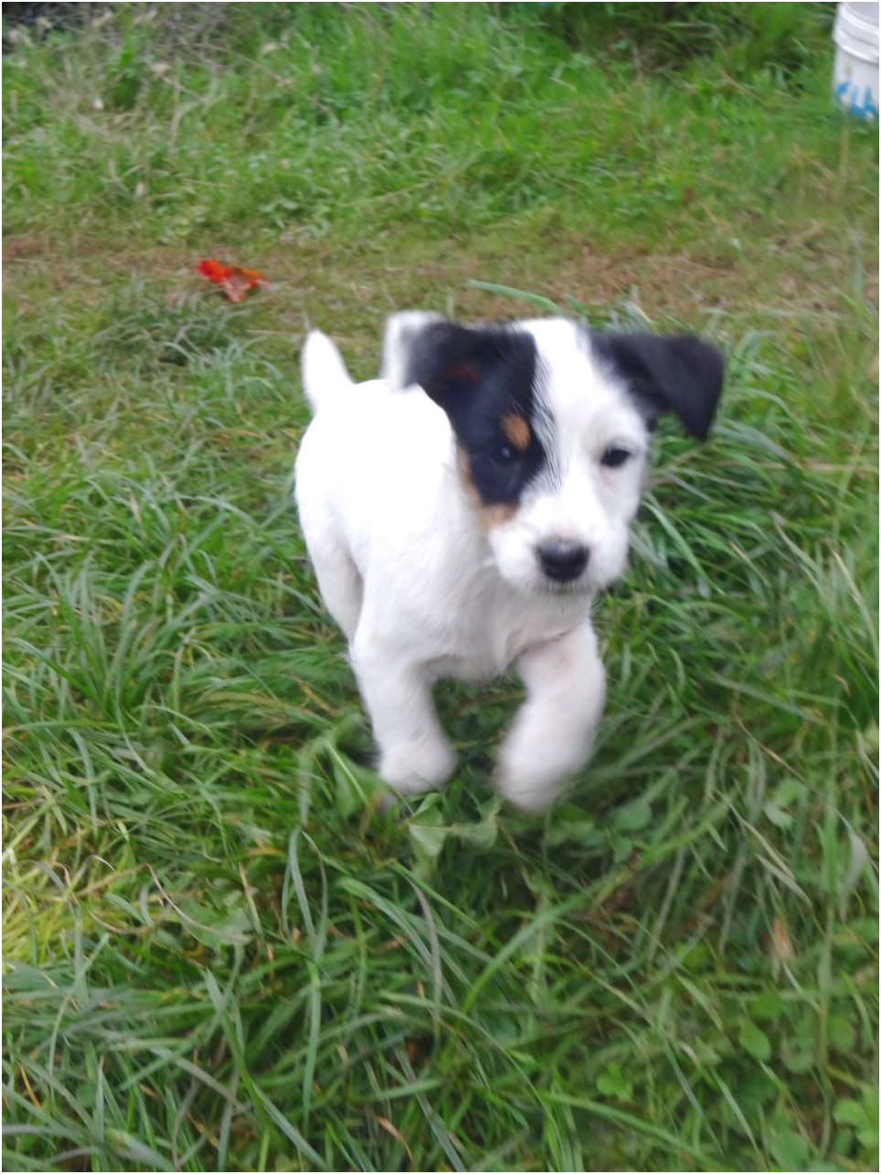 chihuahua and jack russell mix puppies for sale