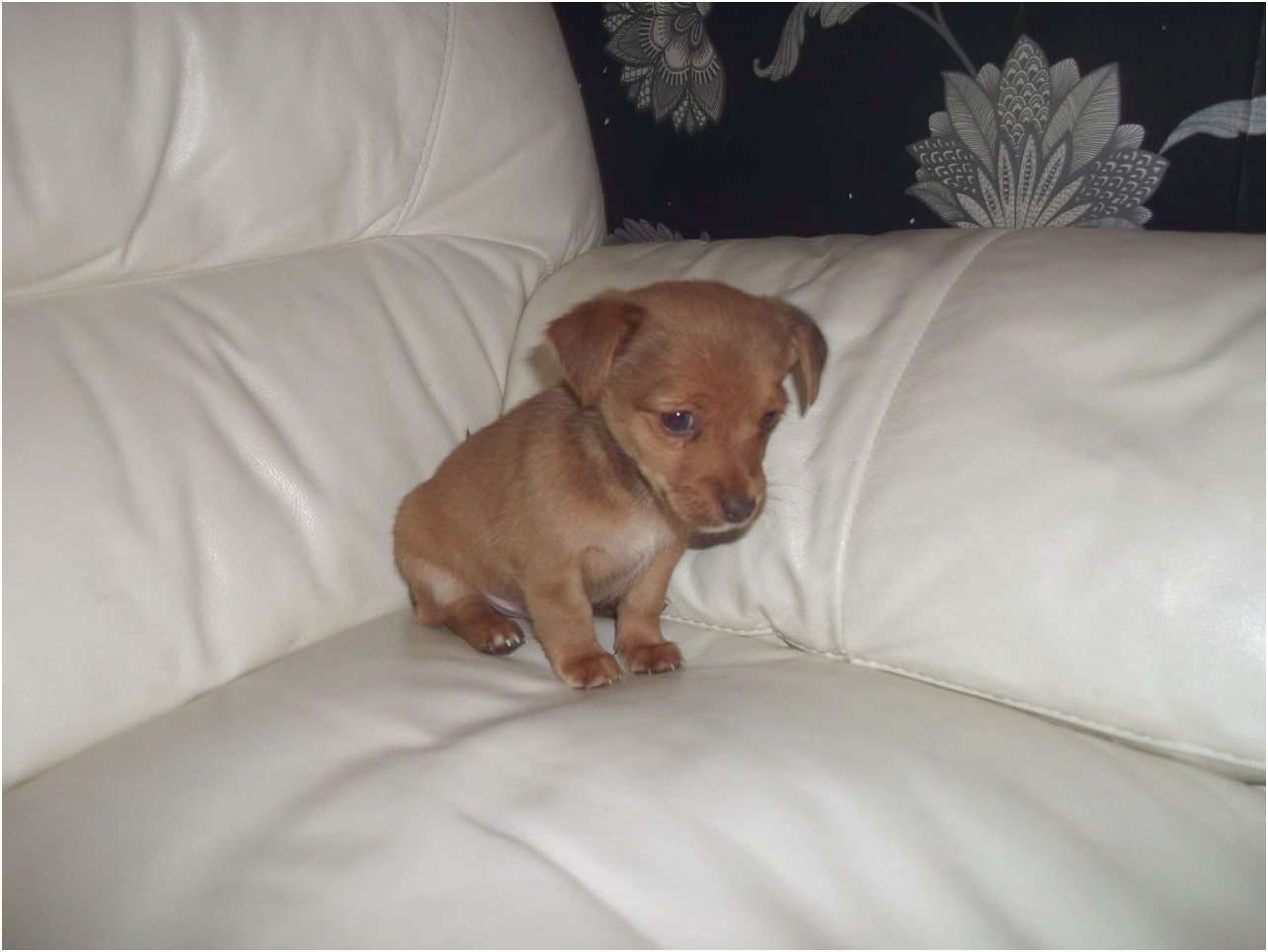 chihuahua cross jack russell puppies for sale essex