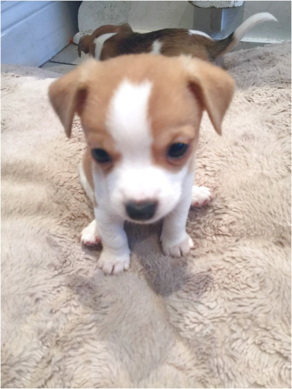 chihuahua cross jack russell puppies for sale in essex