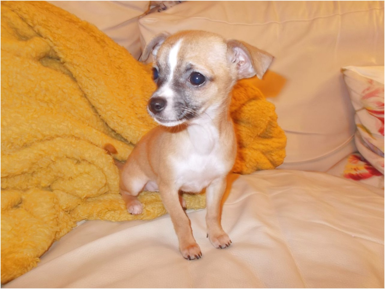 chihuahua cross jack russell puppies for sale swansea