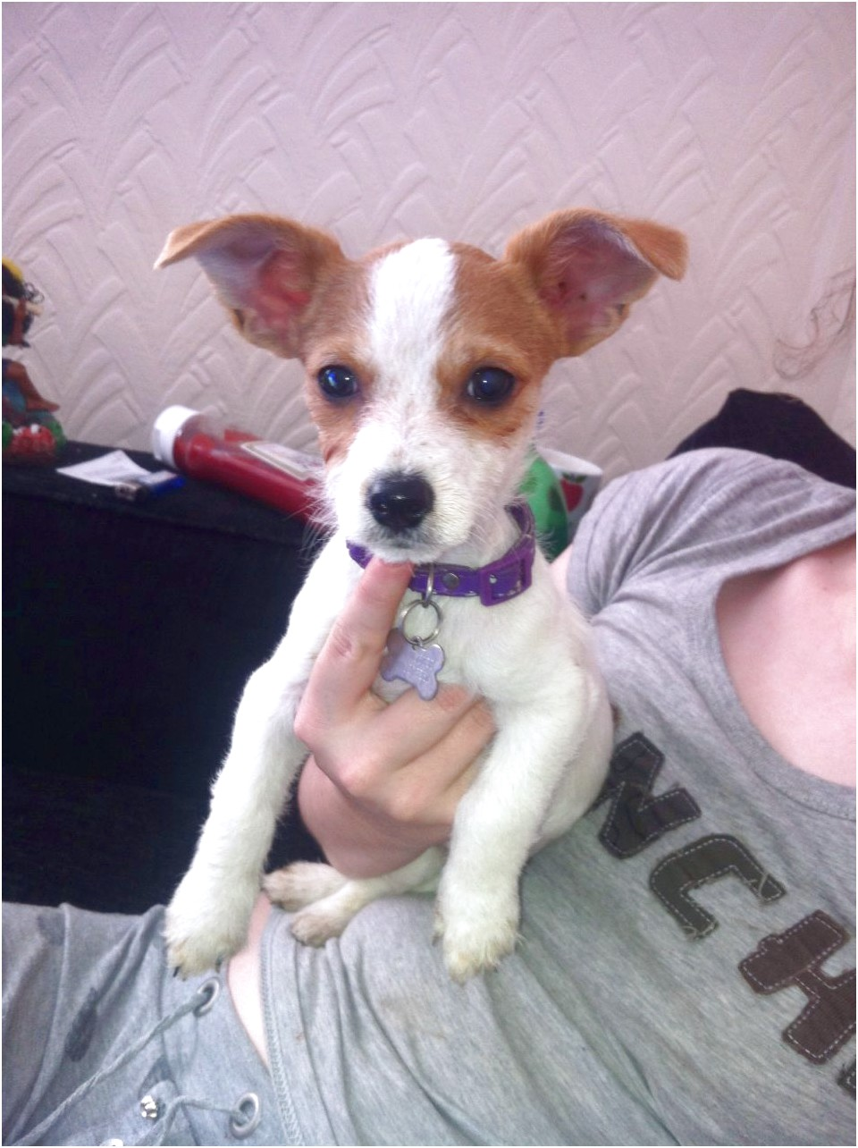 chihuahua cross jack russell puppies for sale west midlands
