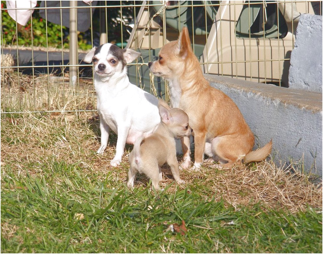 chihuahua dogs for sale in virginia