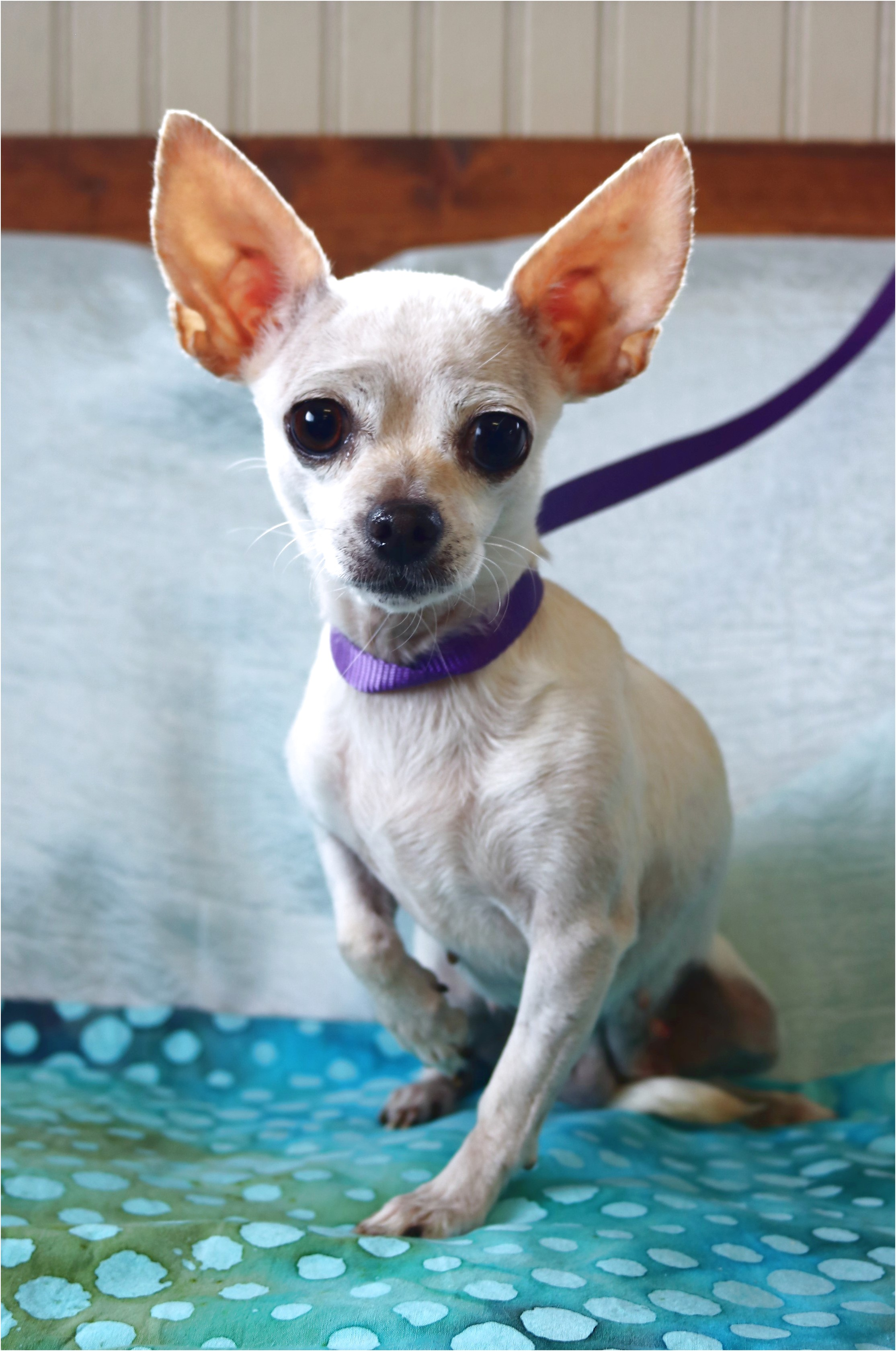 chihuahua for sale in lehigh valley