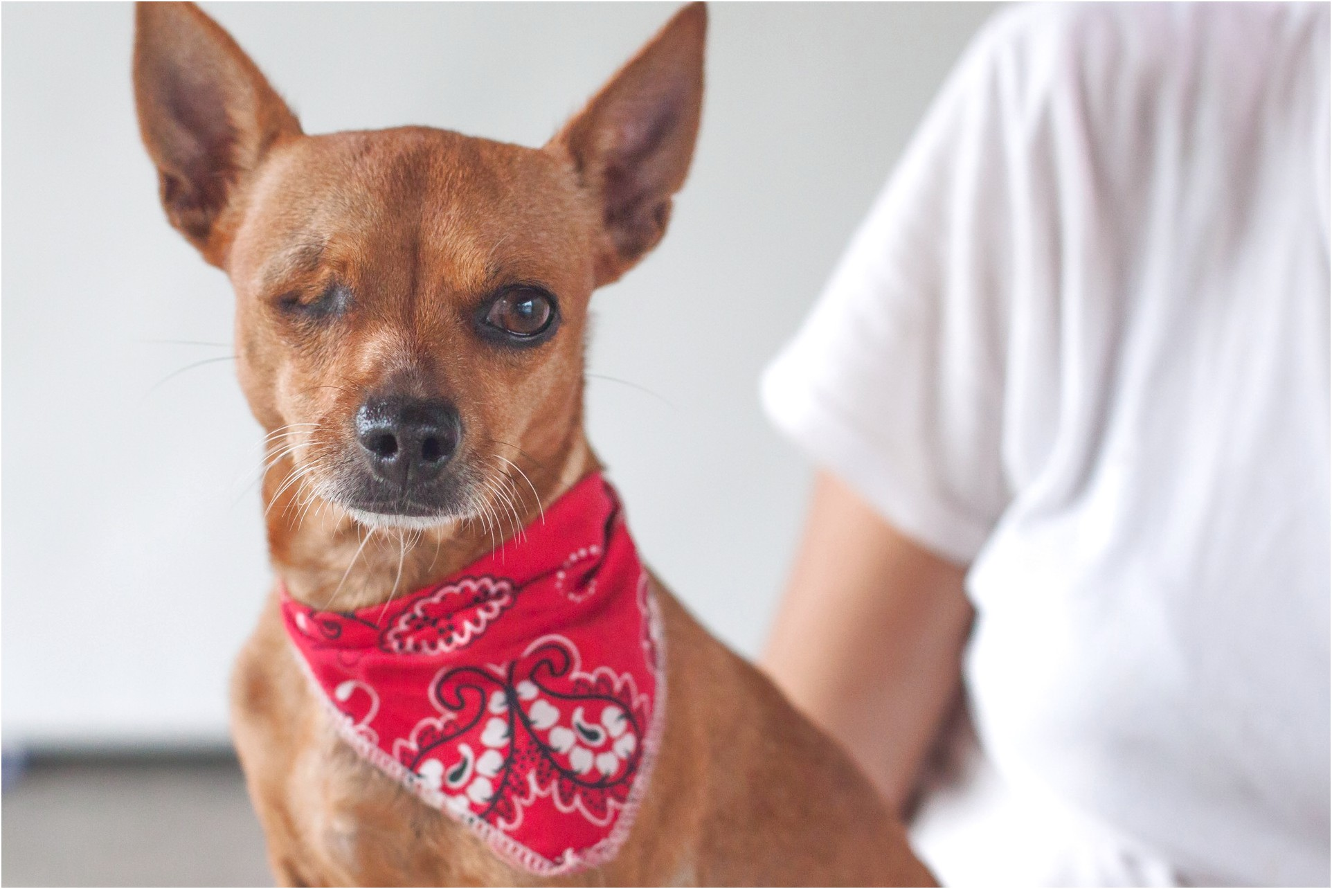 chihuahua for sale in vancouver bc