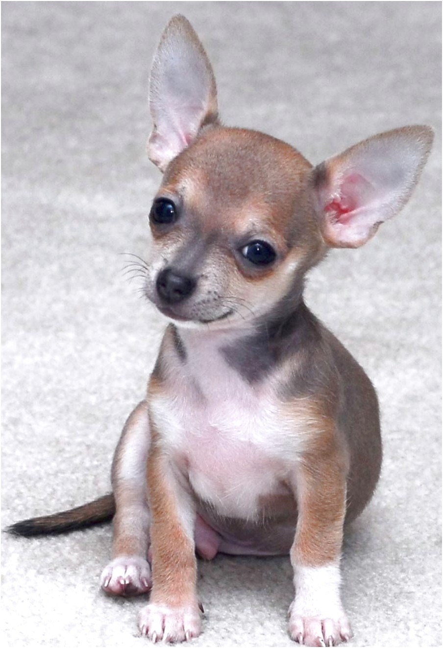 chihuahua for sale in vancouver wa