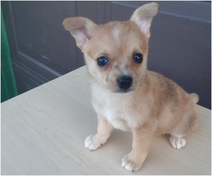chihuahua mix puppies for sale in ohio