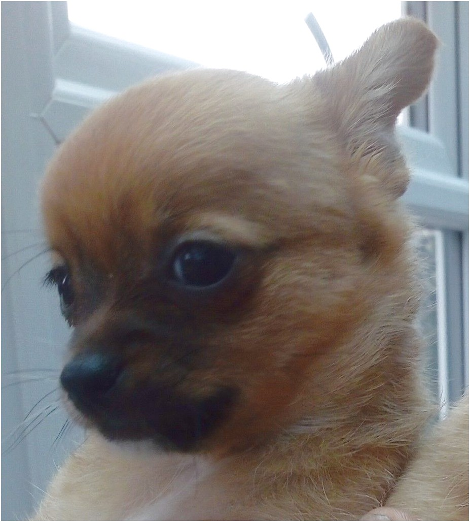 chihuahua puppies for sale around hampshire