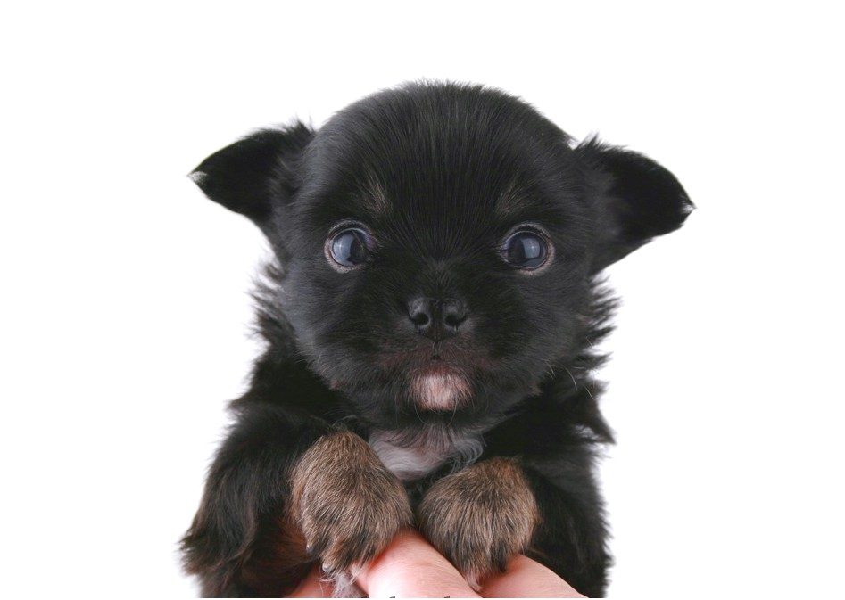 chihuahua puppies for sale by owner
