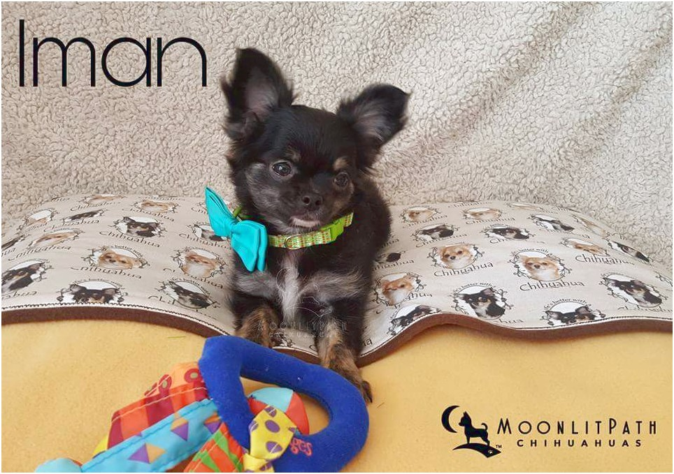chihuahua puppies for sale in akron ohio
