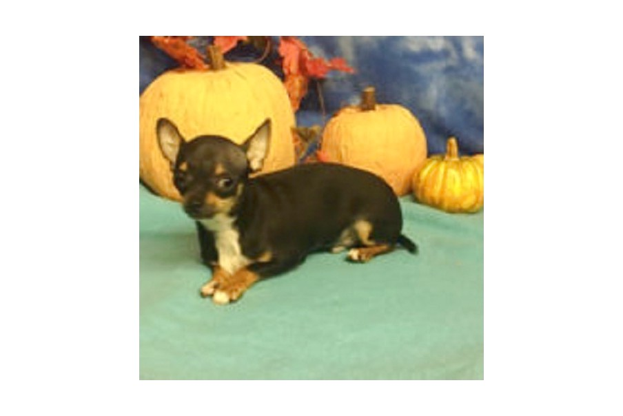 chihuahua puppies for sale in canton ohio