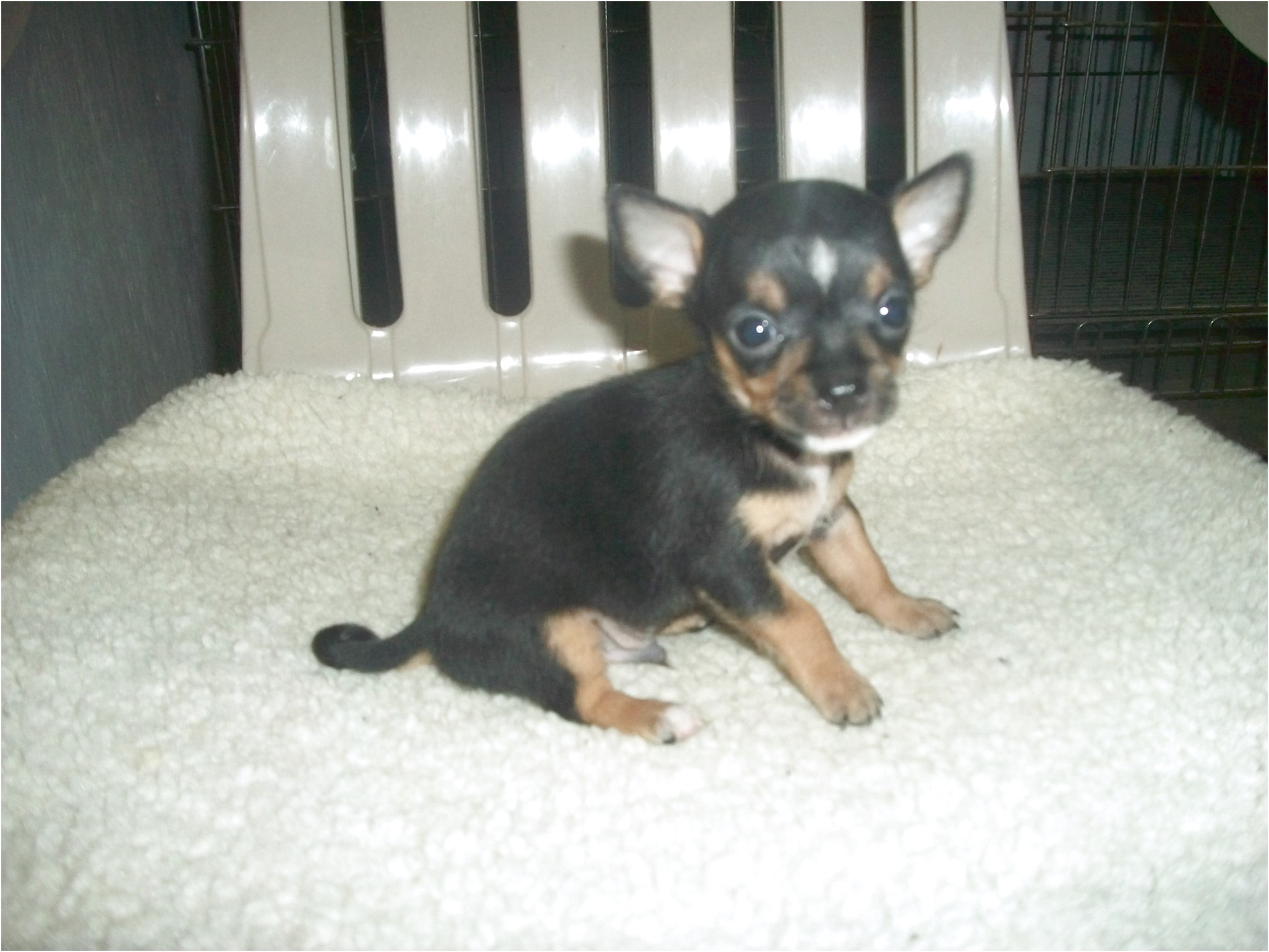 chihuahua puppies for sale in charlottesville va