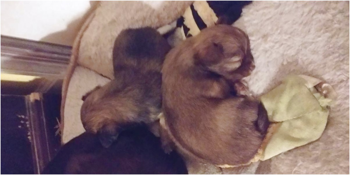 chihuahua puppies for sale in chesapeake va