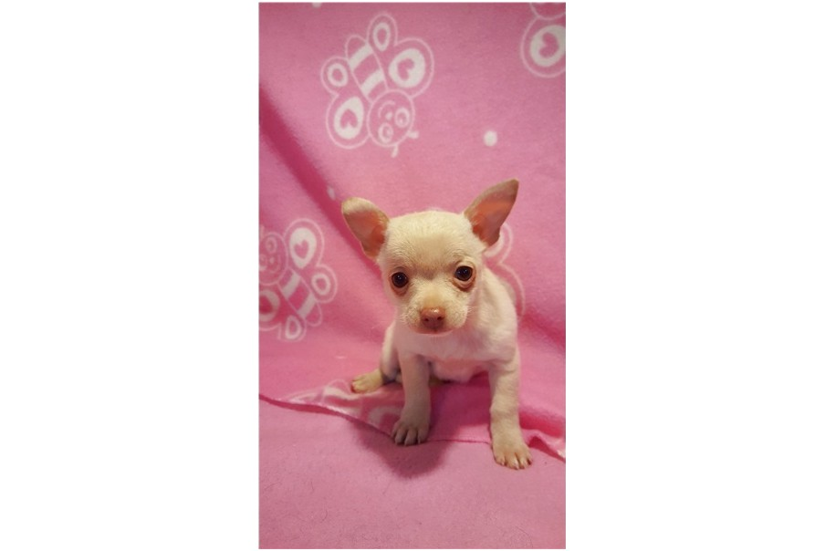 chihuahua puppies for sale in cincinnati ohio