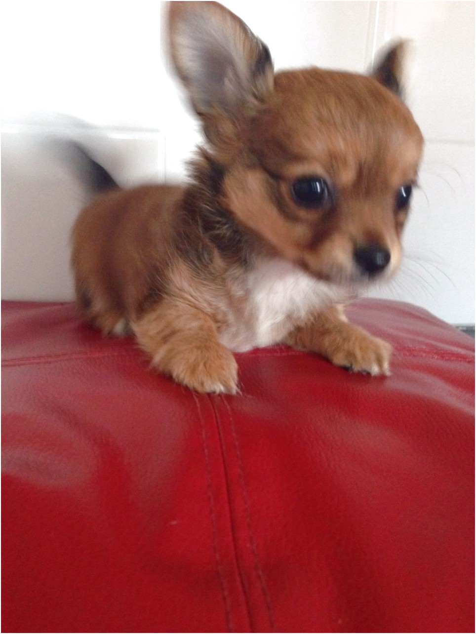 chihuahua puppies for sale in east sussex