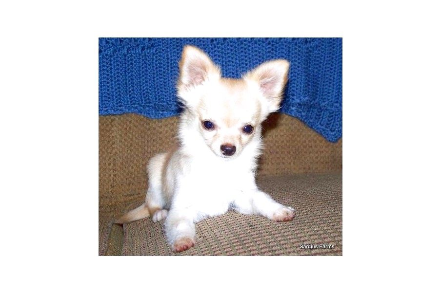 chihuahua puppies for sale in east texas