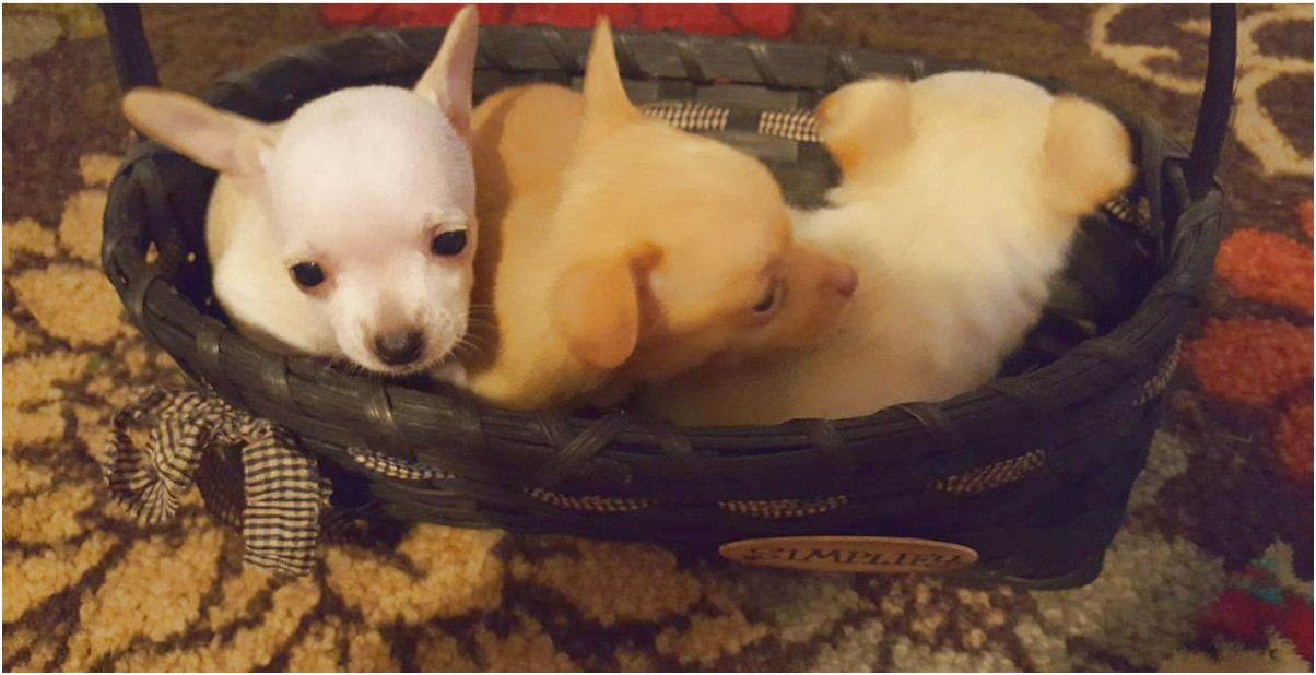 chihuahua puppies for sale in eastern nc