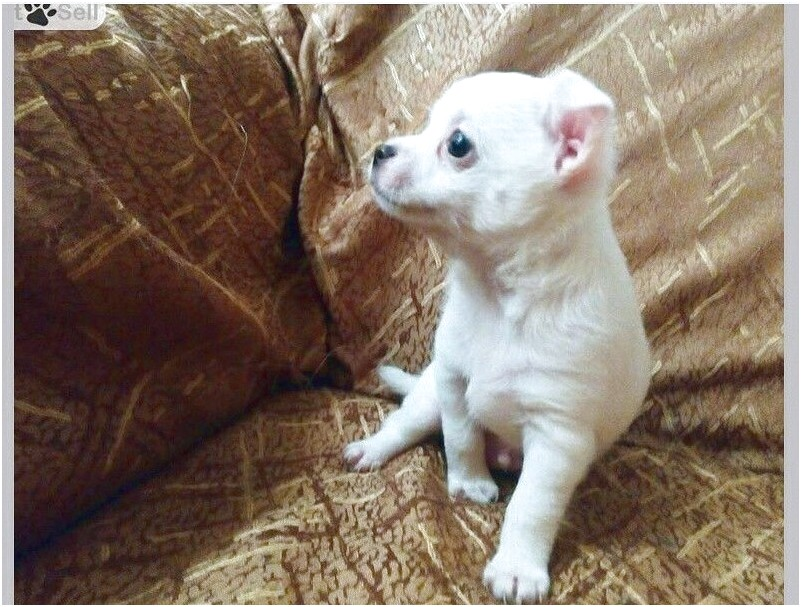 chihuahua puppies for sale in egypt
