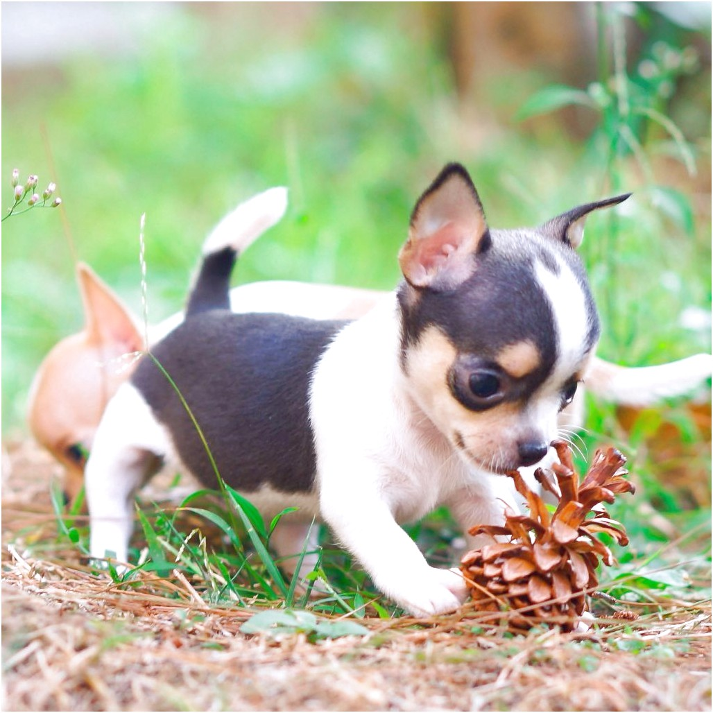 chihuahua puppies for sale in elizabeth city nc