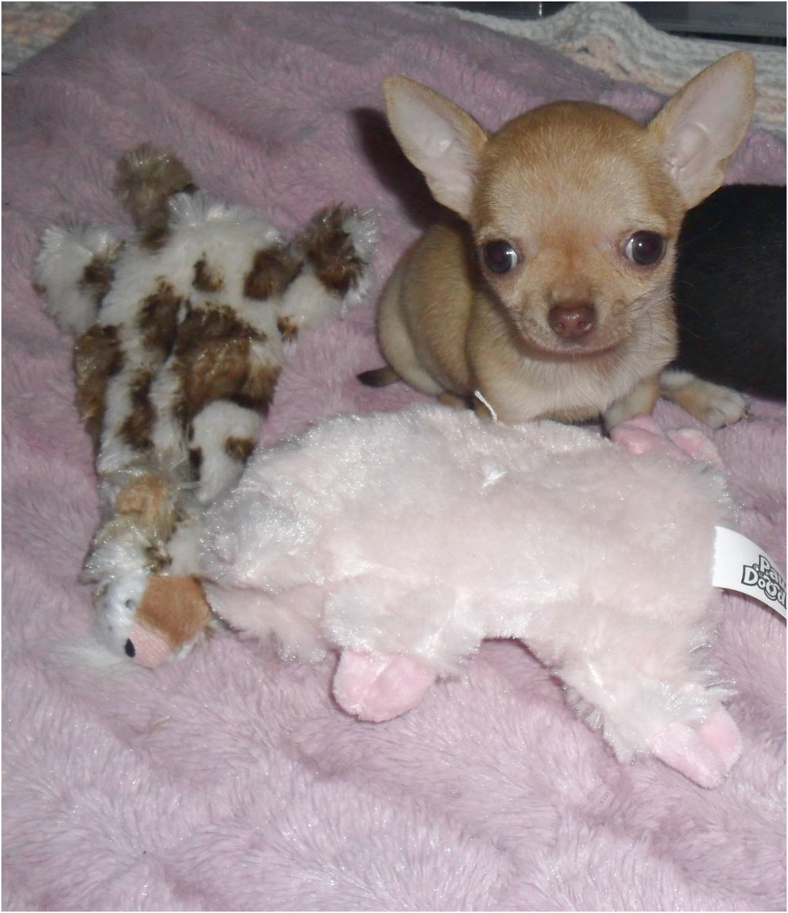 chihuahua puppies for sale in essex