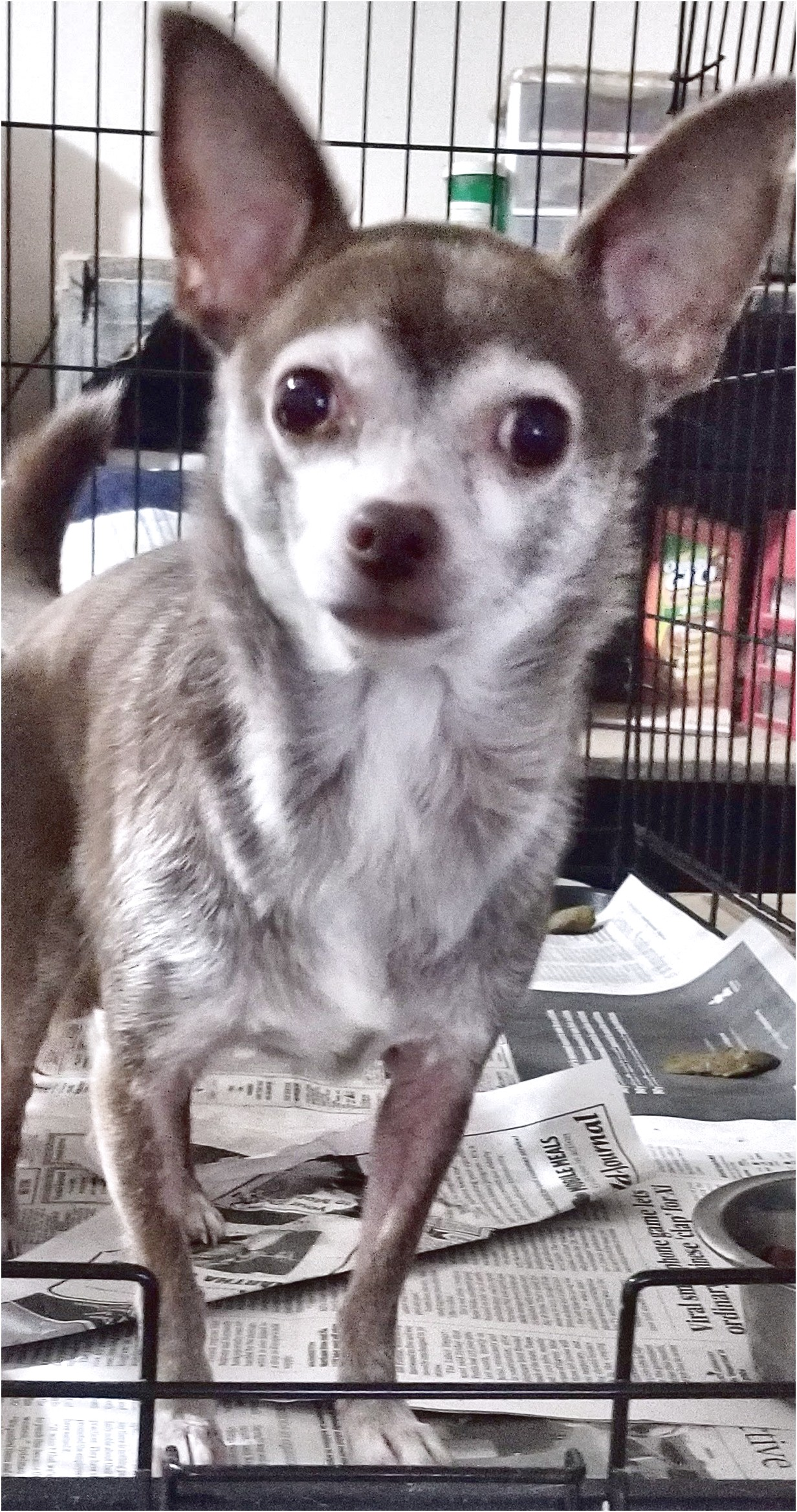 chihuahua puppies for sale in gaffney sc