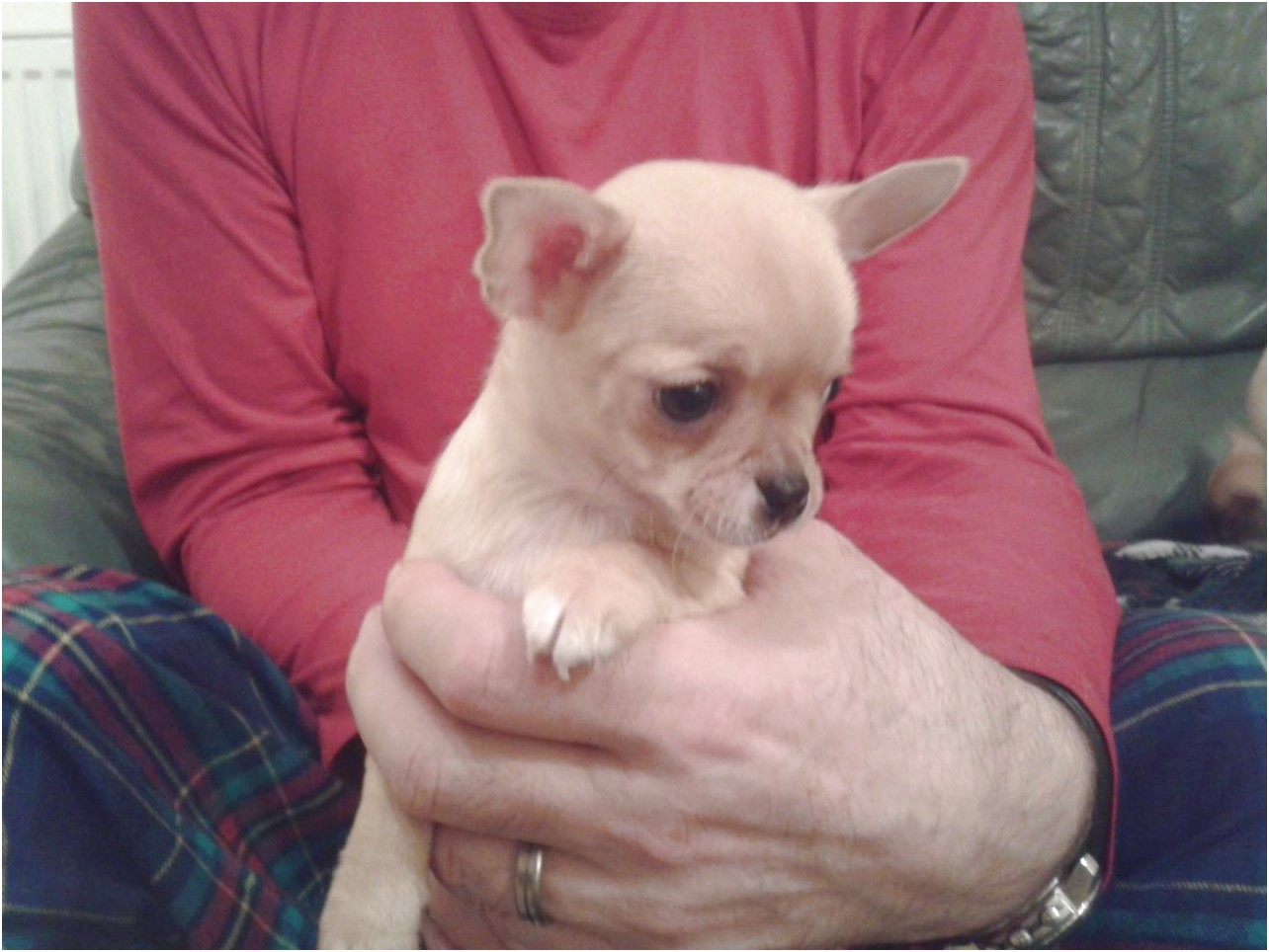 chihuahua puppies for sale in gateshead