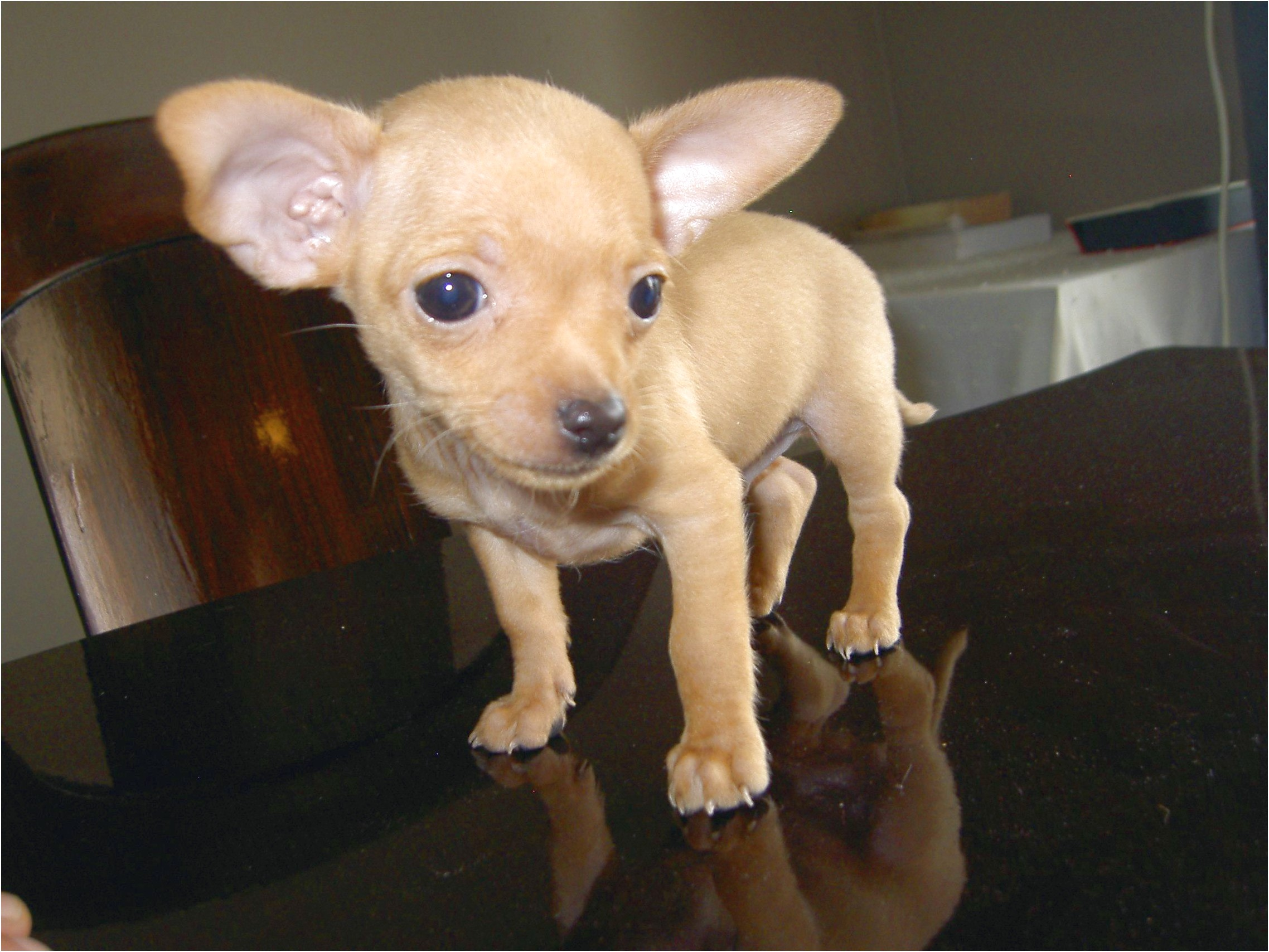 chihuahua puppies for sale in hendersonville nc