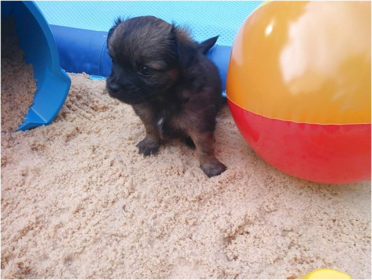 chihuahua puppies for sale in lawrenceville ga