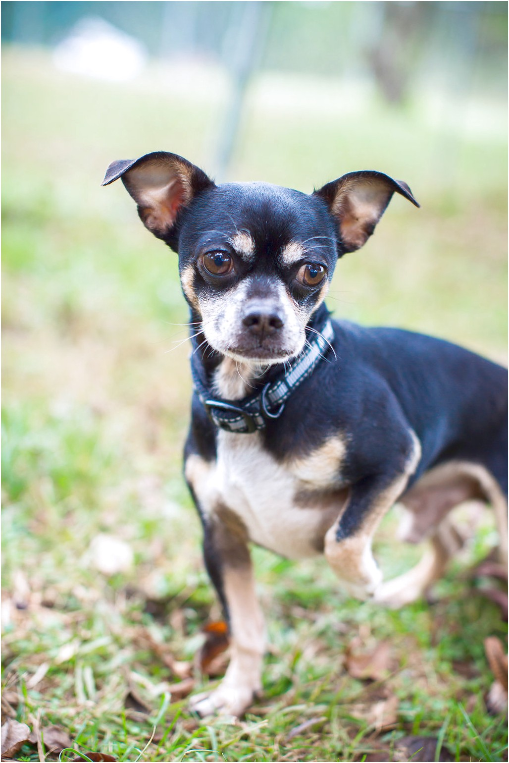 chihuahua puppies for sale in monroe nc