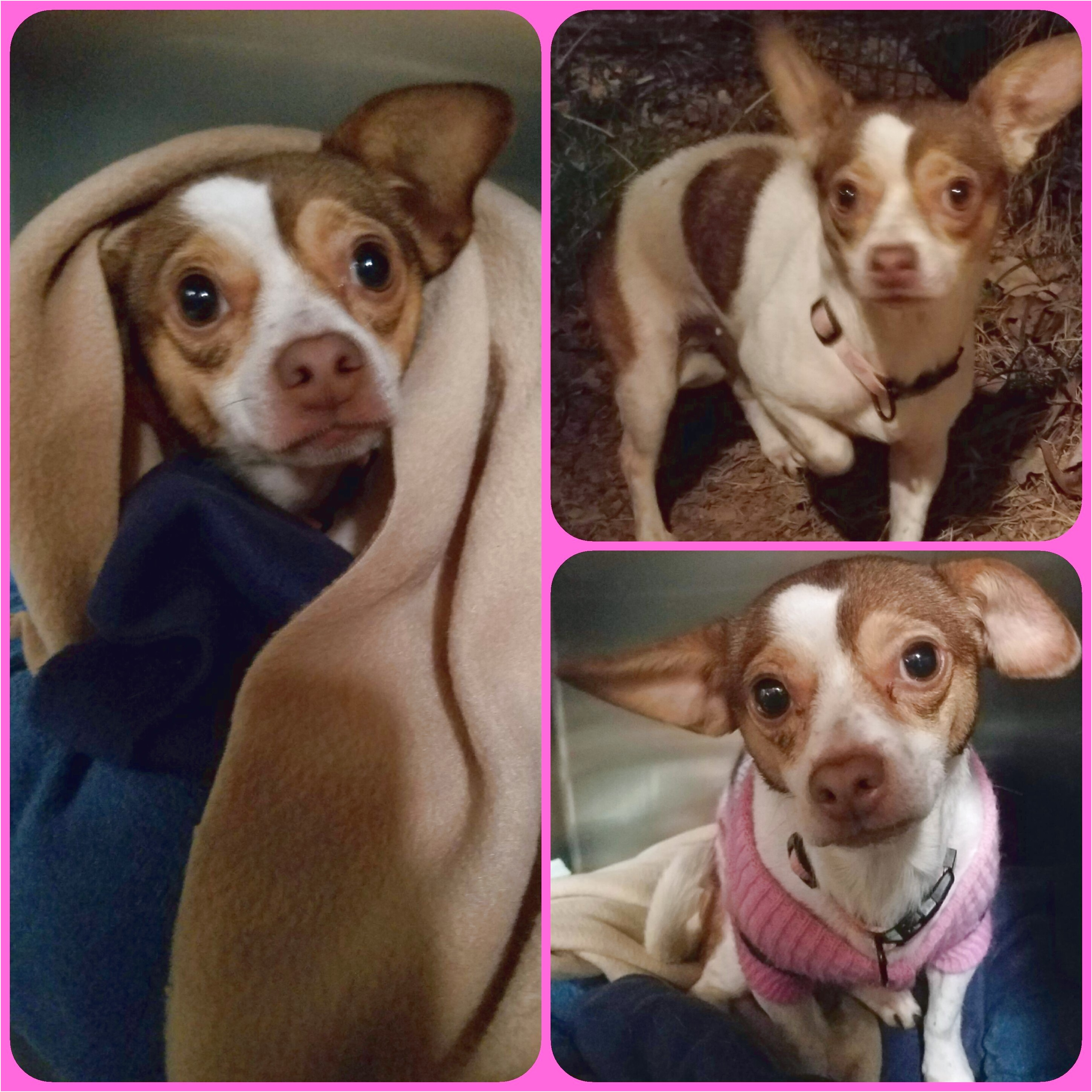 chihuahua puppies for sale in newnan ga