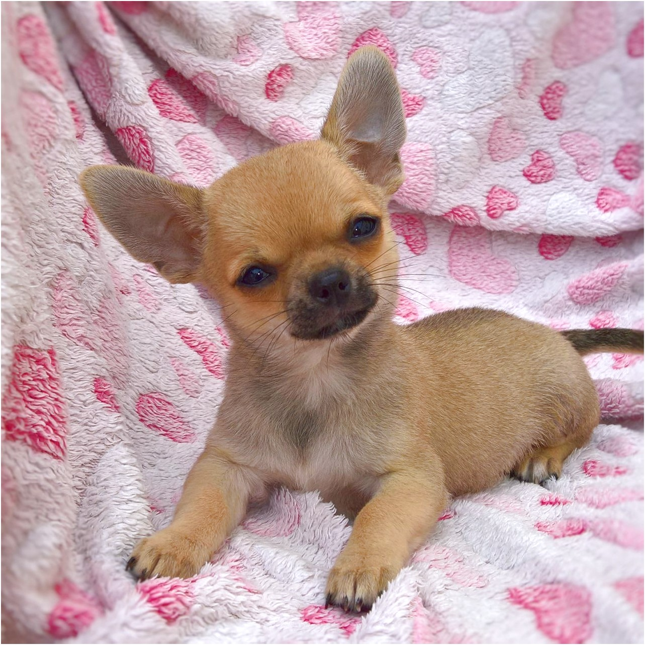 chihuahua puppies for sale in newport news va