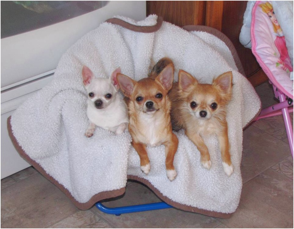 chihuahua puppies for sale in statesville nc