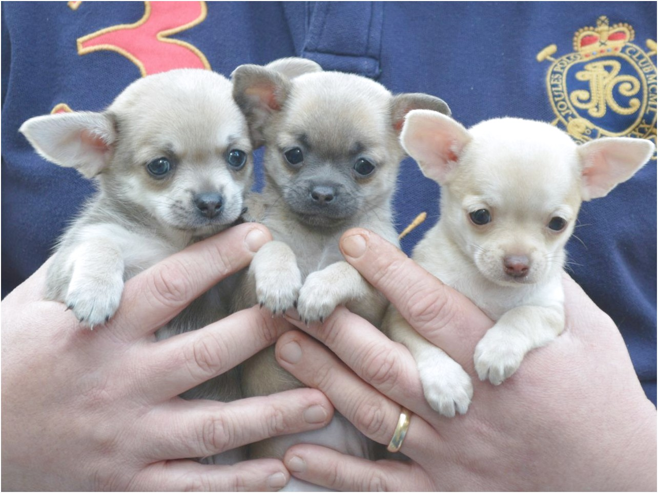chihuahua puppies for sale in va