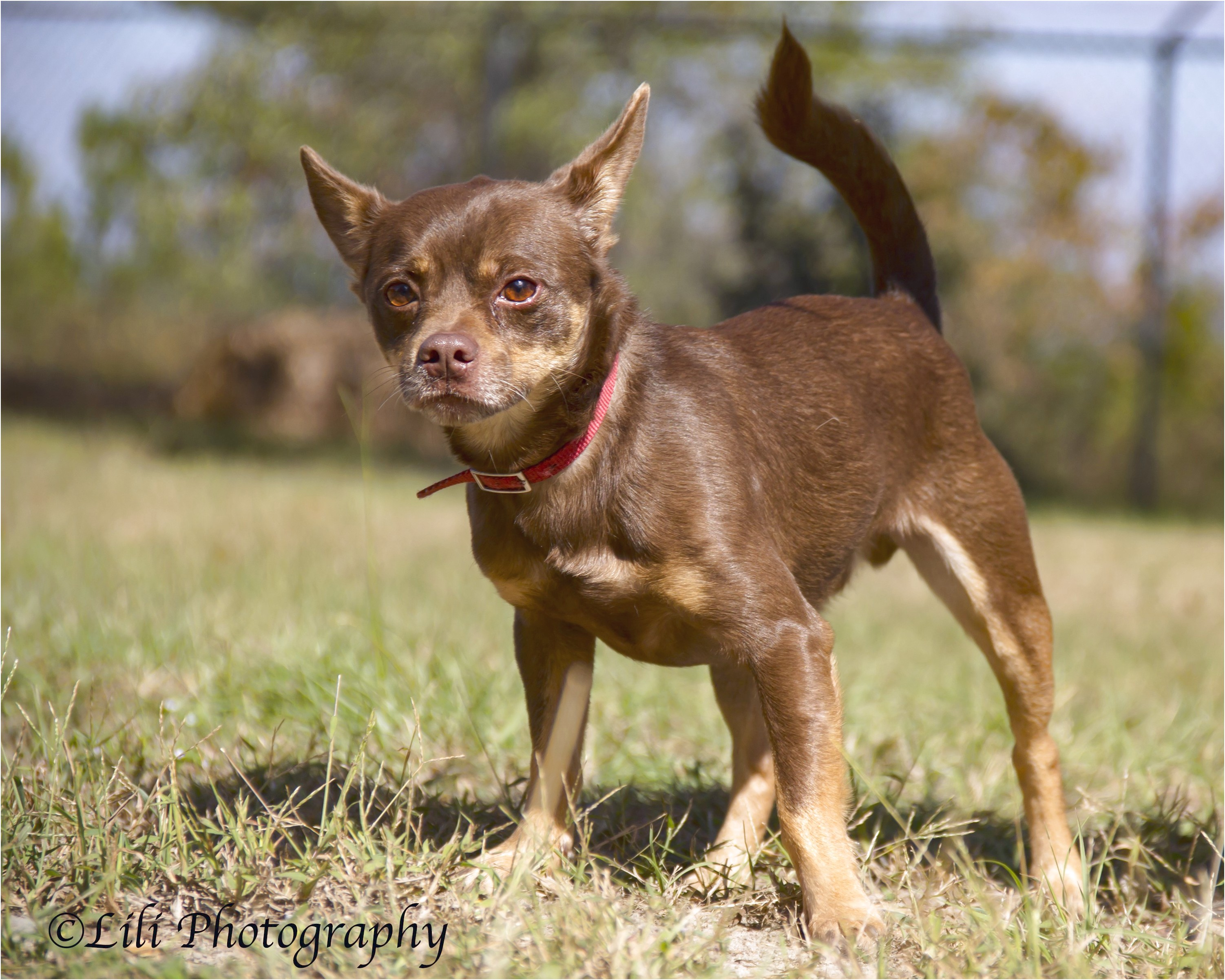 chihuahua puppies for sale in warner robins ga