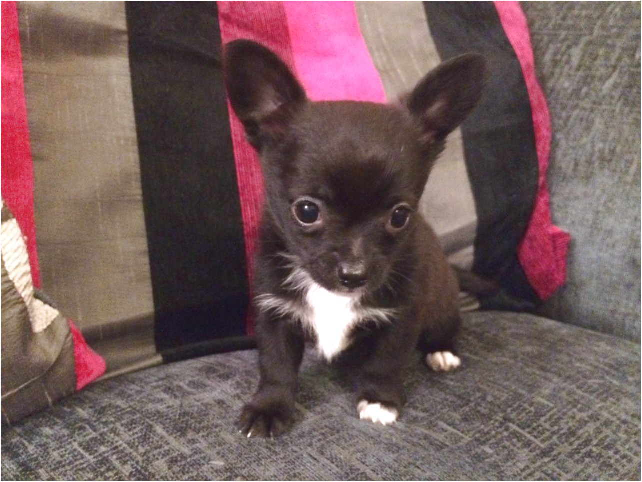chihuahua puppies for sale in west va