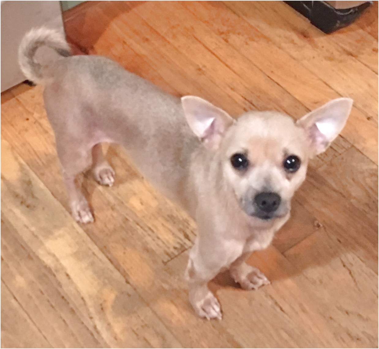 chihuahua puppies for sale in winston salem nc