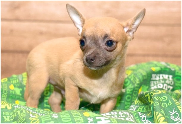 chihuahua puppies for sale in woodstock ga