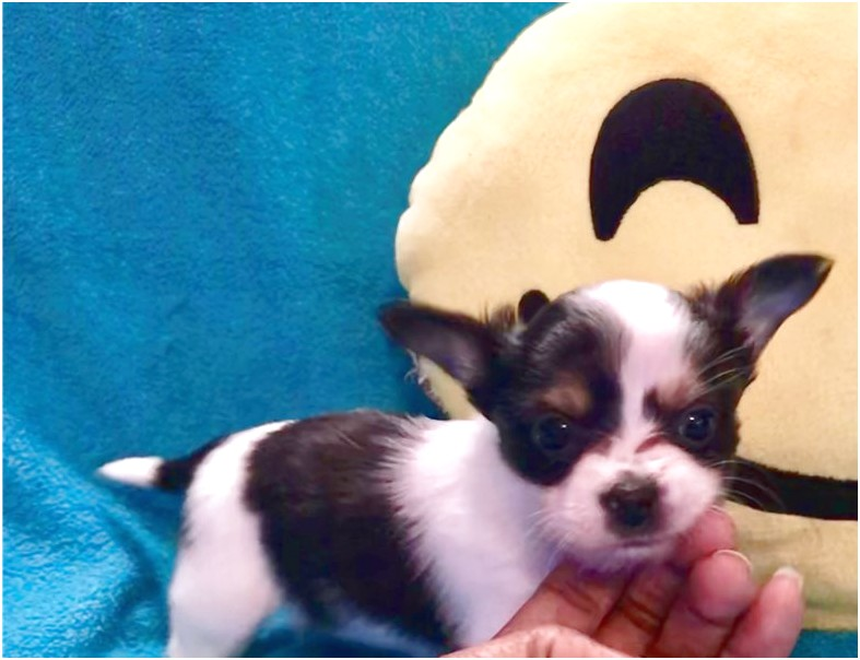 chihuahua puppies for sale near atlanta ga