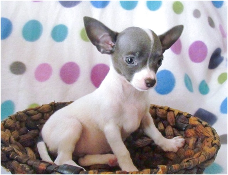 chihuahua puppies for sale near charlotte nc