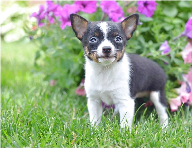 chihuahua puppies for sale near cleveland ohio