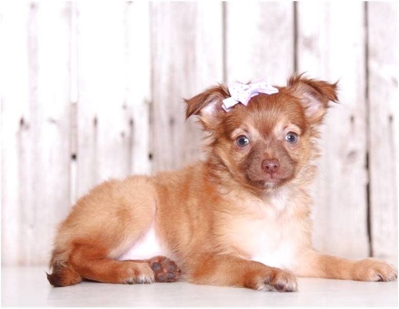 chihuahua puppies for sale near columbus ohio